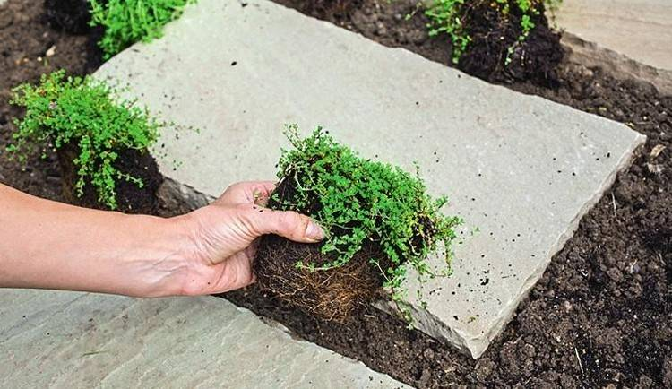 Выращивание тимьяна: как правильно из семян в грунте