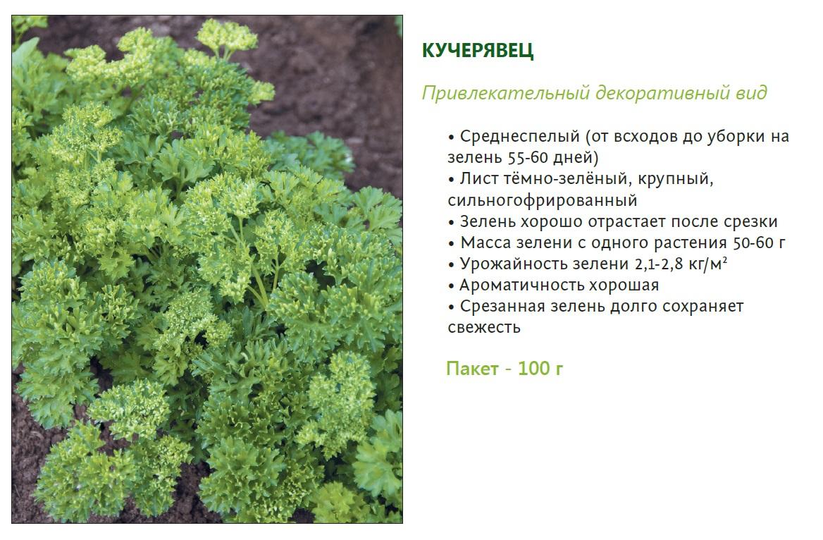 Сорта петрушки: что посадить на участке?   огородники