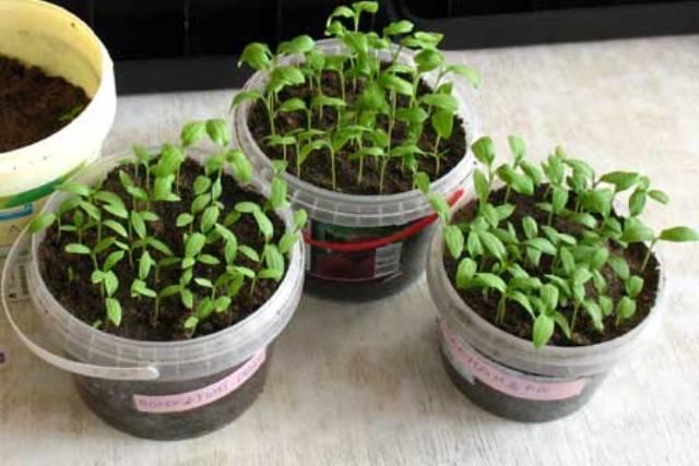 Баклажаны рассада выращивание без пикировки