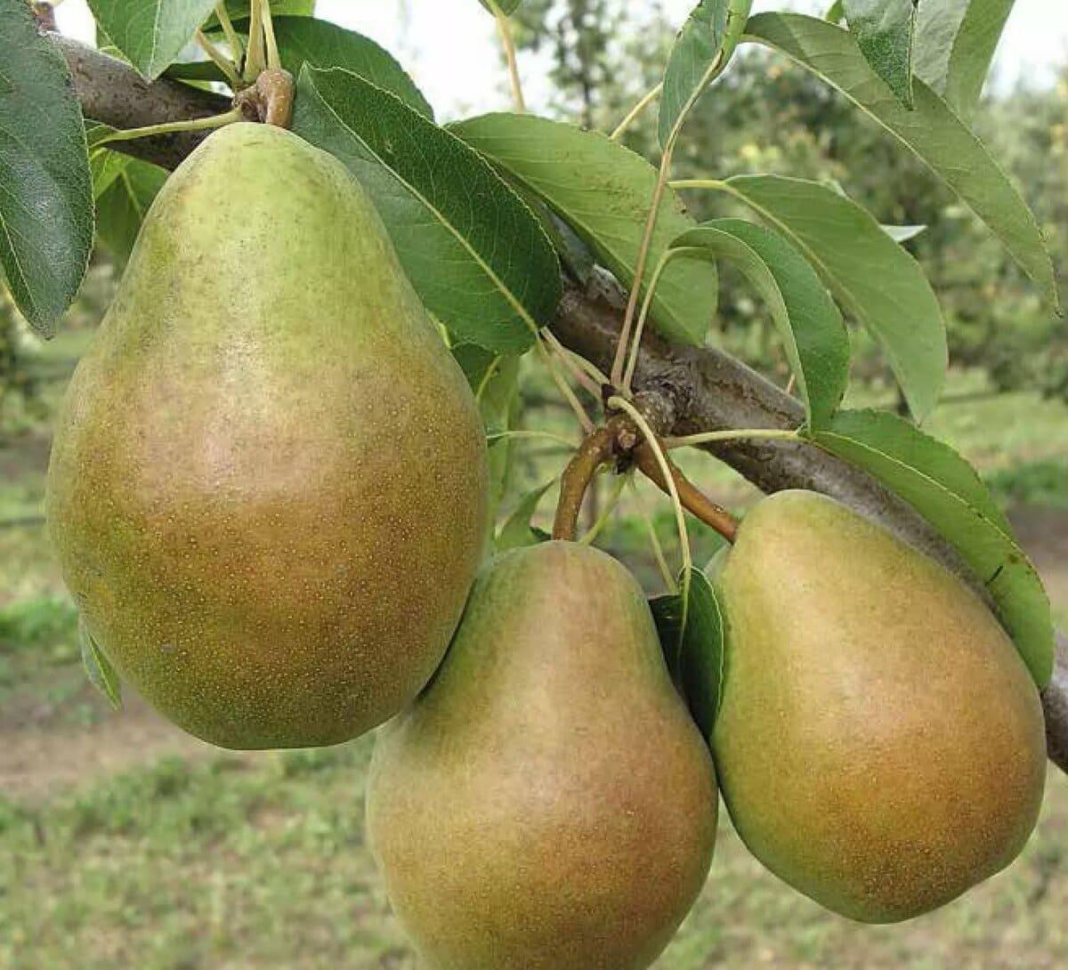 Лучшие опылители для груши просто мария - дневник садовода semena-zdes.ru