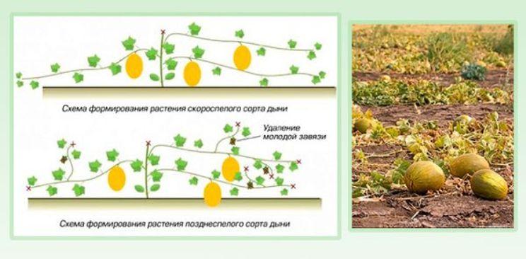 Основные способы формирования арбузов: как получить достойный урожай
