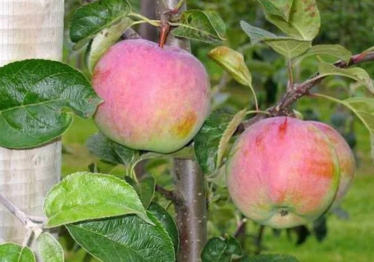 Яблоня подарок садоводам: описание, фото, отзывы