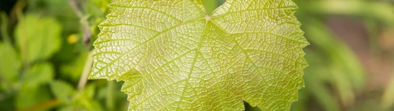 Лечение хлороза растений