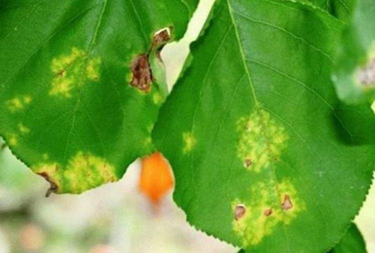 Обработка абрикоса весной от болезней и вредителей, чем и когда опрыскивать дерево, отзывы