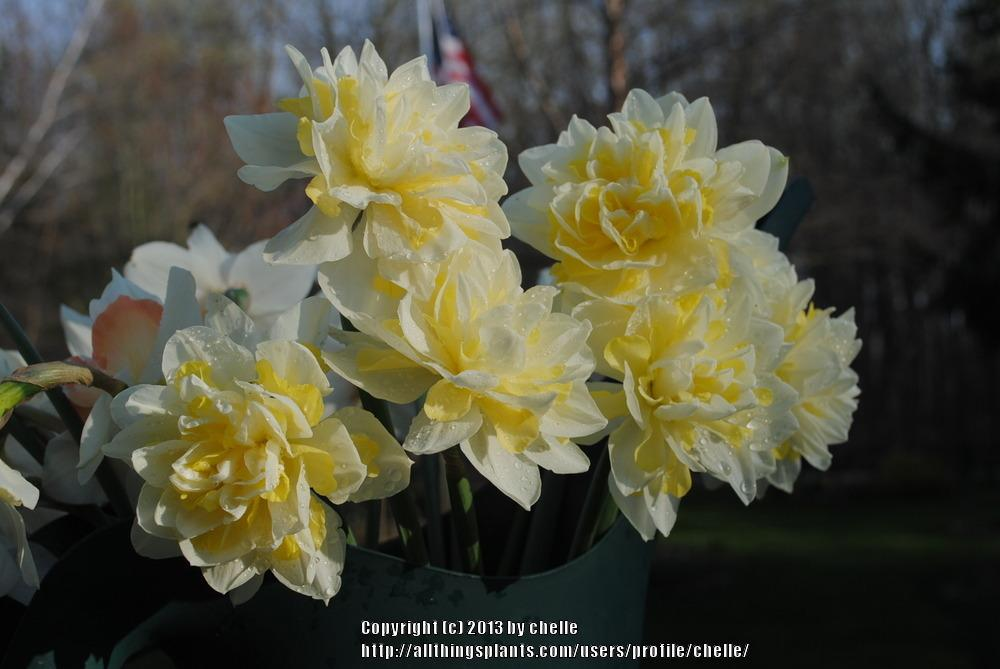 Нарцисс авалон: описание сорта и характеристики, правила посадки и ухода