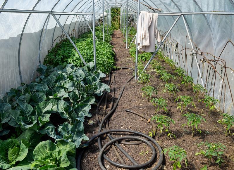 Брокколи: выращивание из семян рассадой, посадка и уход в открытом грунте