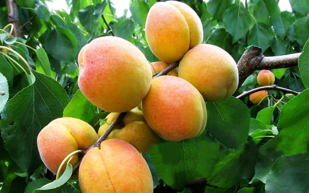 ✅ о абрикосе: описание и характеристики, посадка, уход, выращивание - tehnomir32.ru