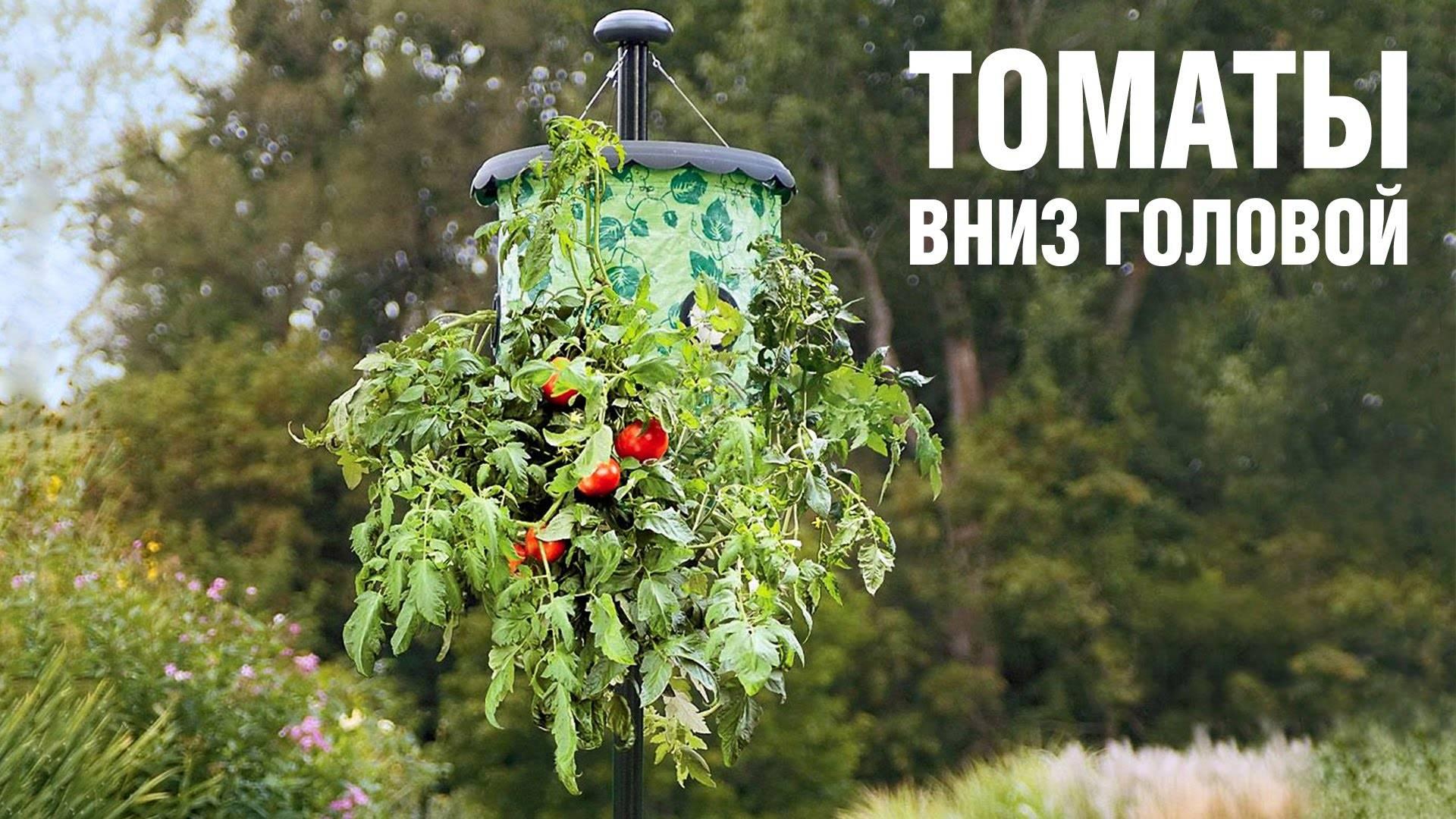 Выращивание томатов вверх корнями – как правильно сажать, в бутылках, ведрах, фото, видео, отзывы