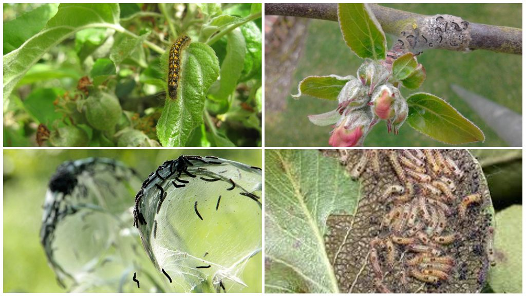 Как бороться с долгоносиком (цветоедом) на яблоне