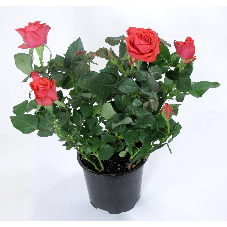 Как ухаживать за кустовой розой в горшке в домашних условиях: особенности