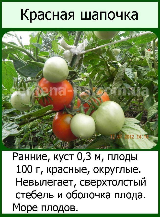 Томат польская слива тети сварло: описание сорта, отзывы, фото | tomatland.ru