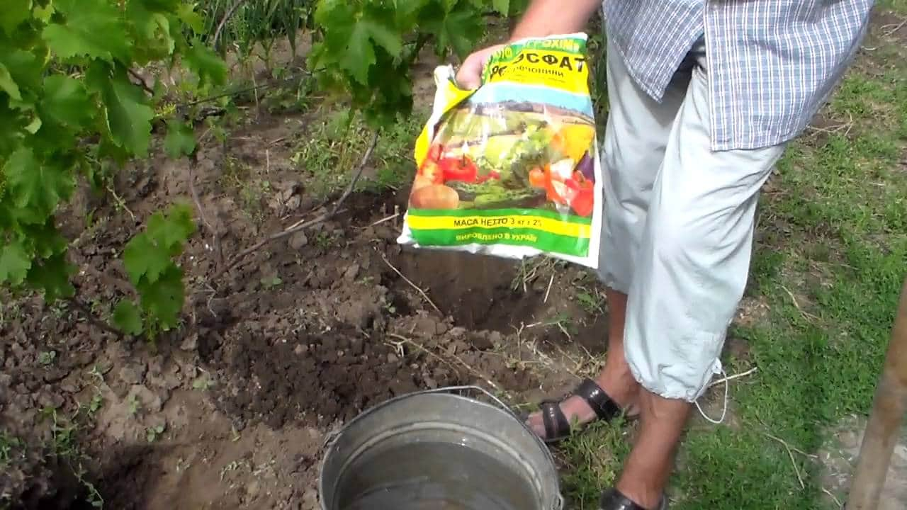 Подкормка винограда весной, чем и когда удобрять