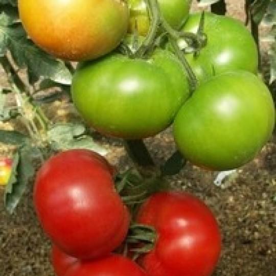 Описание сорта томата ягуар, выращивание и урожайность - всё про сады