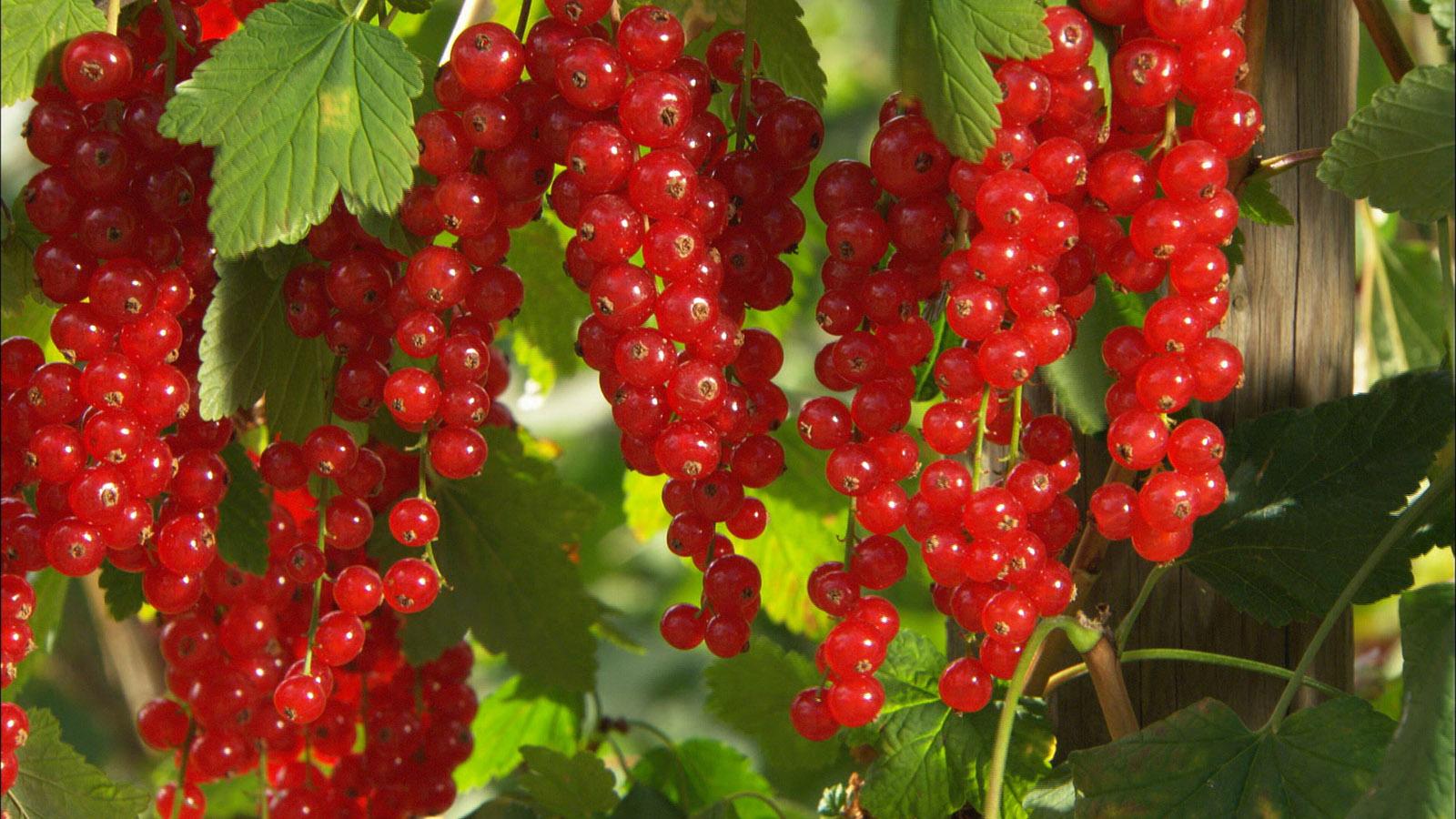 Высокоурожайный и очень популярный сорт красной смородины — мармеладница