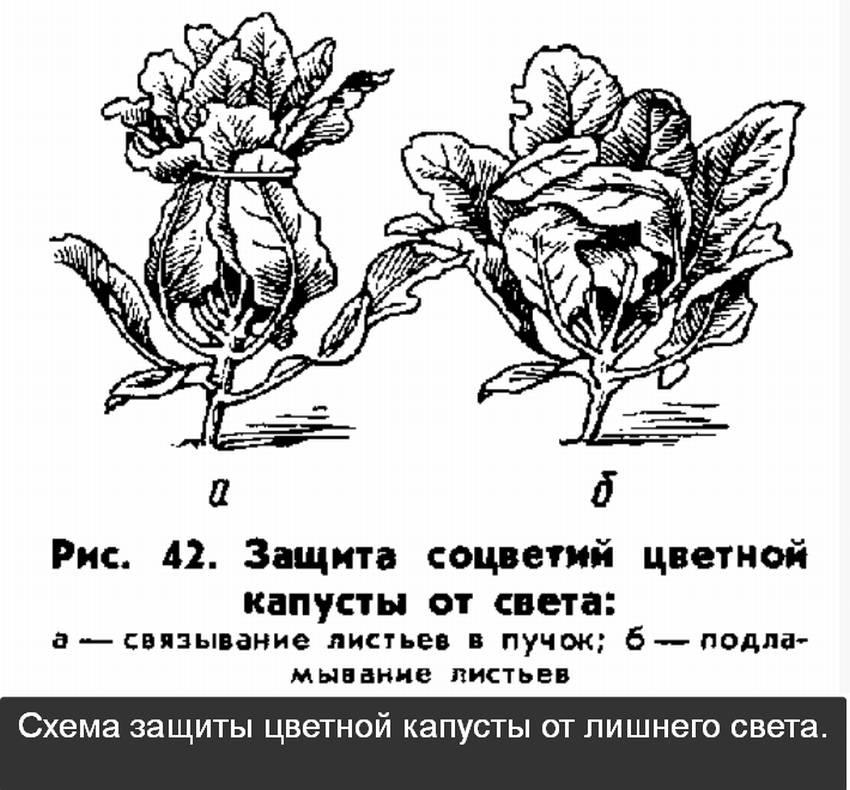 Посадка рассады цветной капусты в открытый грунт, уход за ней, выращивание в домашних условиях и на каком расстоянии правильно сажать, как выглядят ростки на фото?