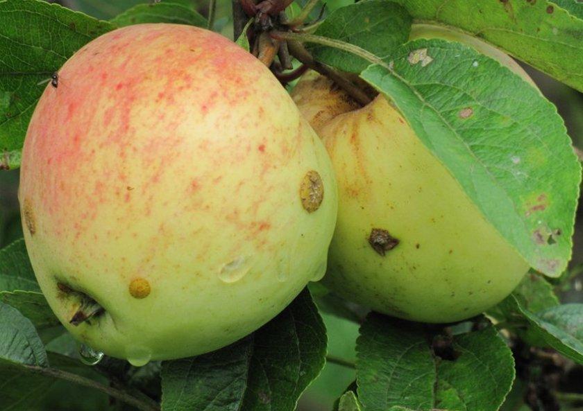 Яблоня сахарный аркад: описание особенностей, фото разновидностей сорта