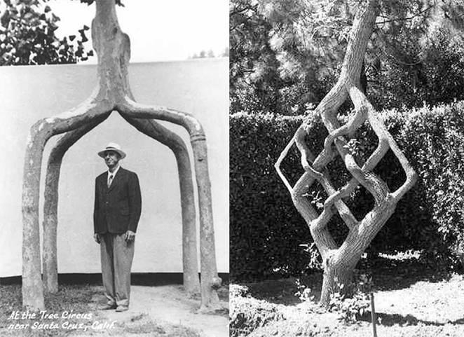 Плетение ивовых прутьев косичкой. переплетение стволов ивы в несколько этапов. арбоскульптура: фантазийные изделия из стволов деревьев