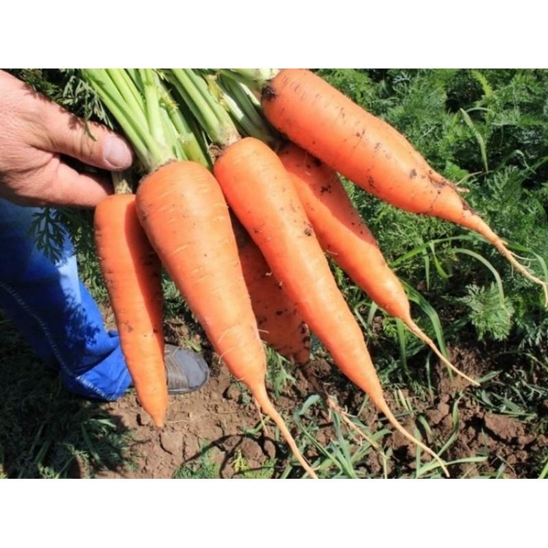 """Морковь абако f1 - описание сорта, фото, отзывы, посадка и уход - журнал """"совхозик"""""""