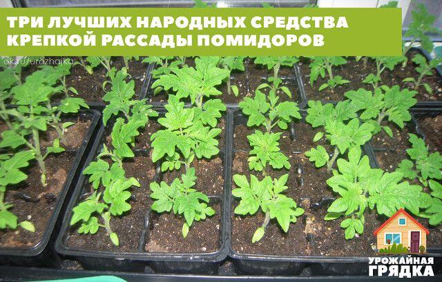 Чем подкормить рассаду помидор после пикировки | сад огород