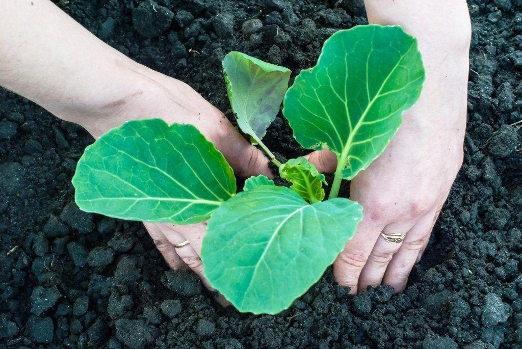 10 шагов как выращивать пекинскую капусту в открытом грунте