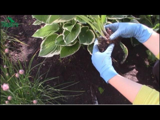 Посадка и уход за хостой в открытом грунте, выращивание в домашних условиях