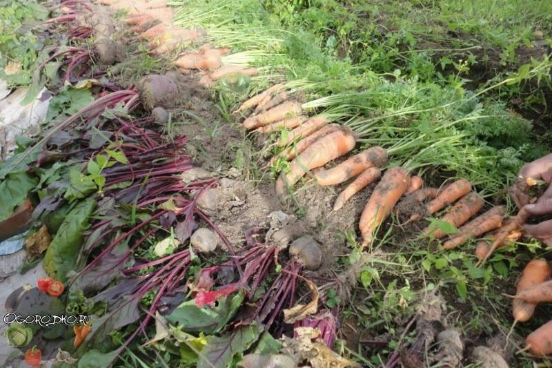 Сроки уборки моркови с грядки на хранение в 2019 году