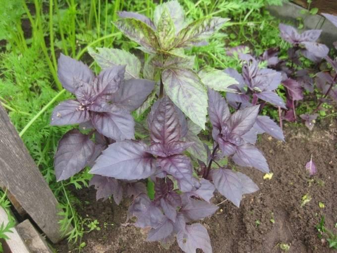 Сорта базилика и использование полезного растений