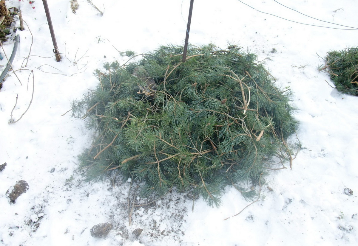 Розмарин обрезка на зиму ~ советы садоводам и огородникам