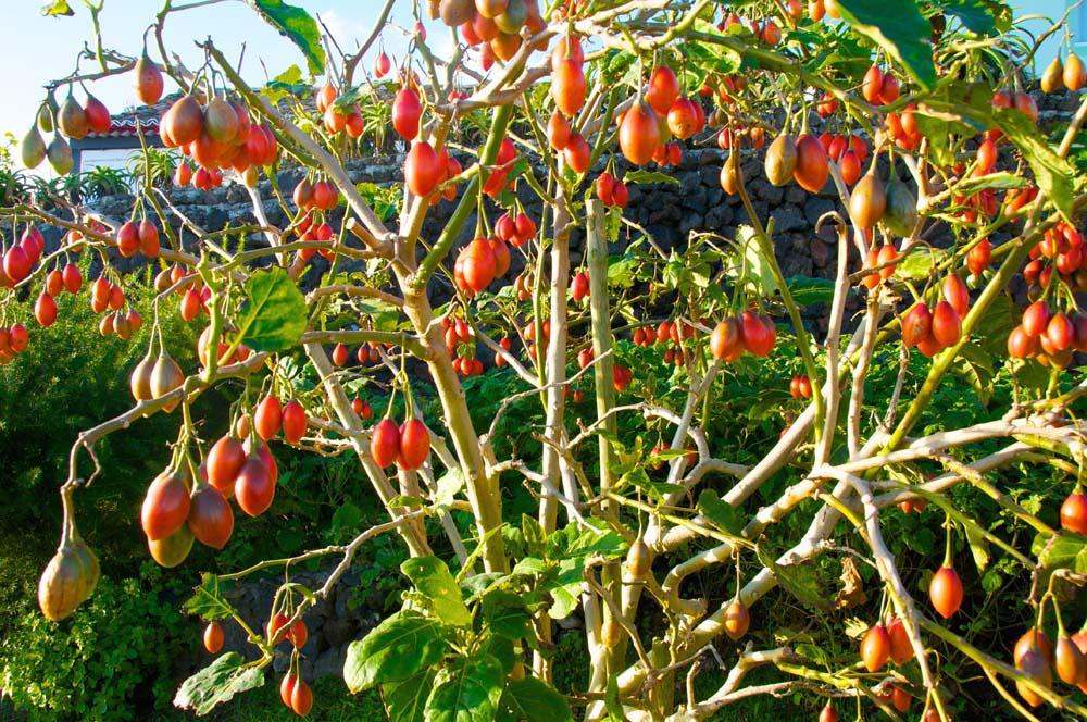 Как самостоятельно вырастить томатное дерево тамарилло