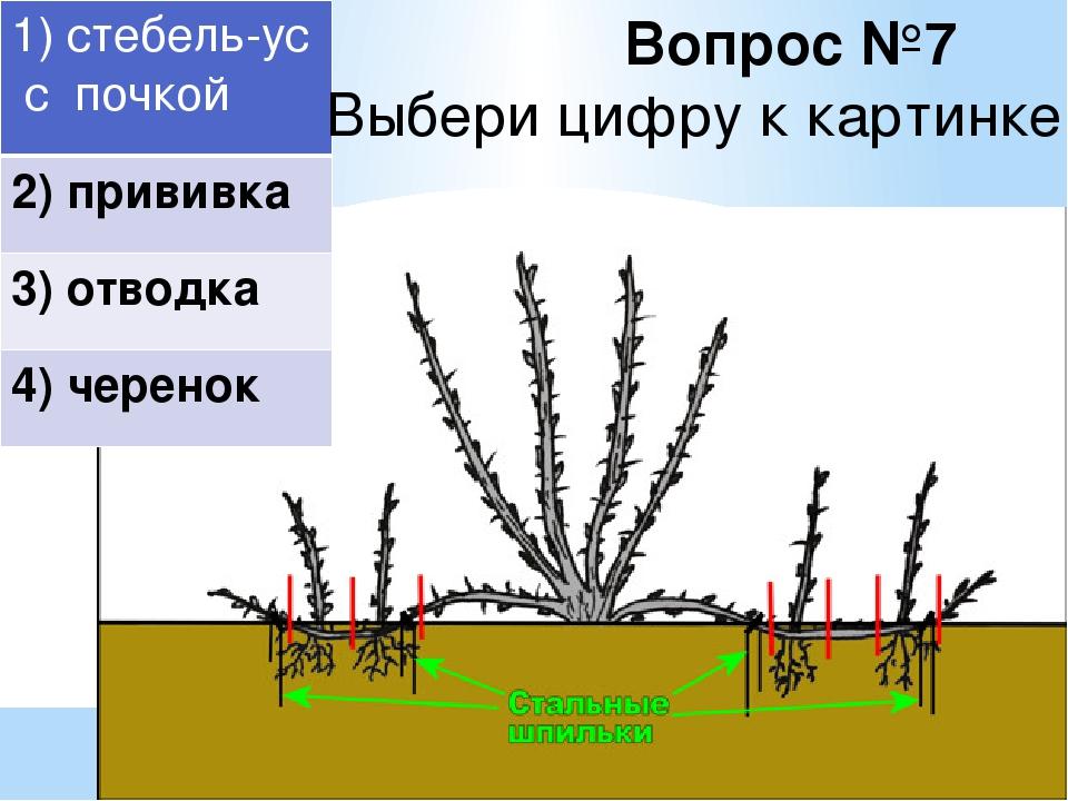 Размножение крыжовника черенками: посадка, уход, способы черенкования