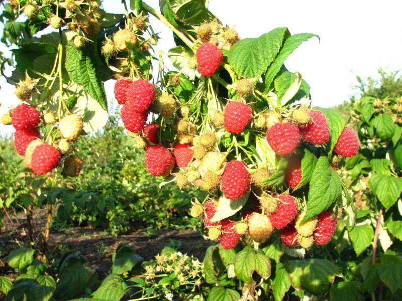 Малина таруса - выращиваем самый урожайный сорт