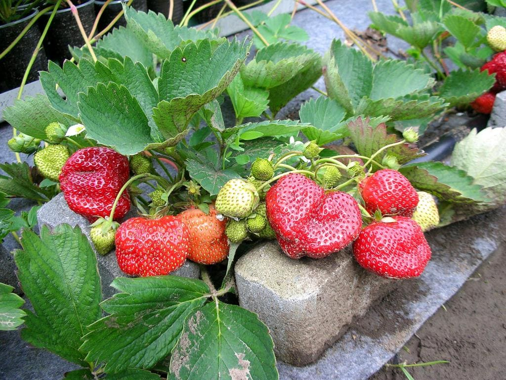 Сорт клубники «роксана»: описание, выращивание и борьба с вредителями