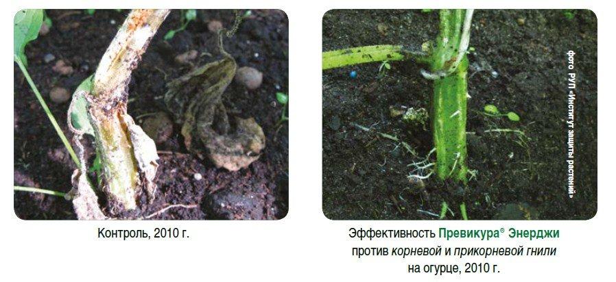 Корневая гниль огурцов: лечение в теплице, устойчивые сорта