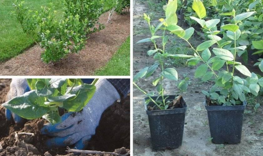 Голубика блюджей: выращиваем скороспелый сорт на садовом участке
