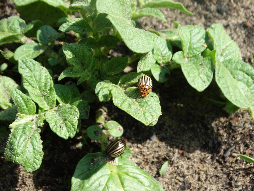 Колорадский жук, борьба народными средствами. как избавиться от колорадского жука