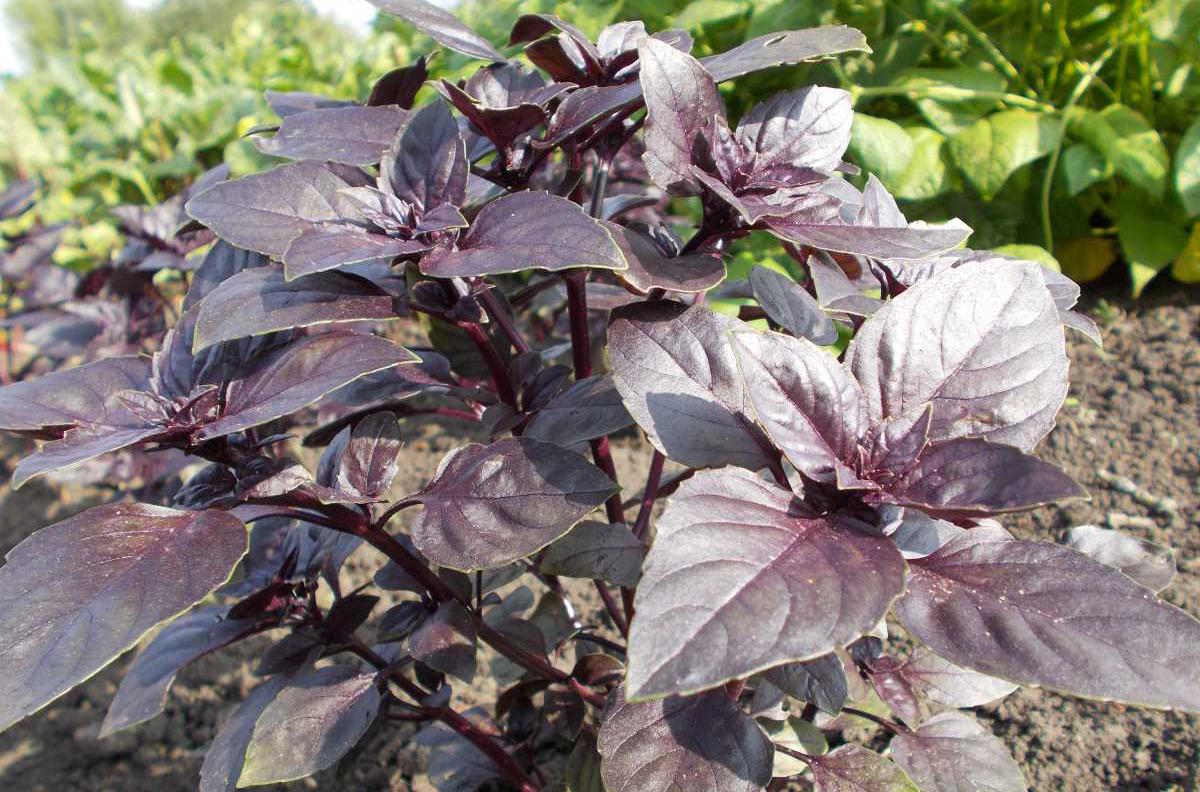 Базилик зеленый лучшие сорта - сад и огород