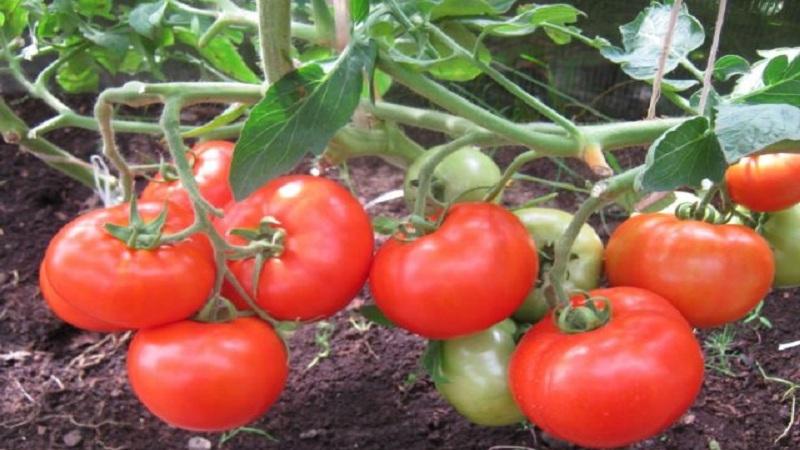 Томат бенито f1: описание урожайного гибрида, отзывы и особенности его выращивания
