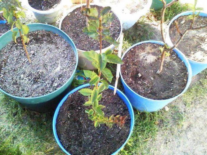 Абрикос из косточки. пробуем вырастить дерево сами
