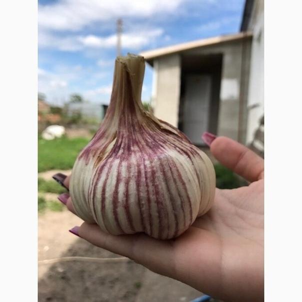 Особенности выращивания озимого сорта чеснока любаша