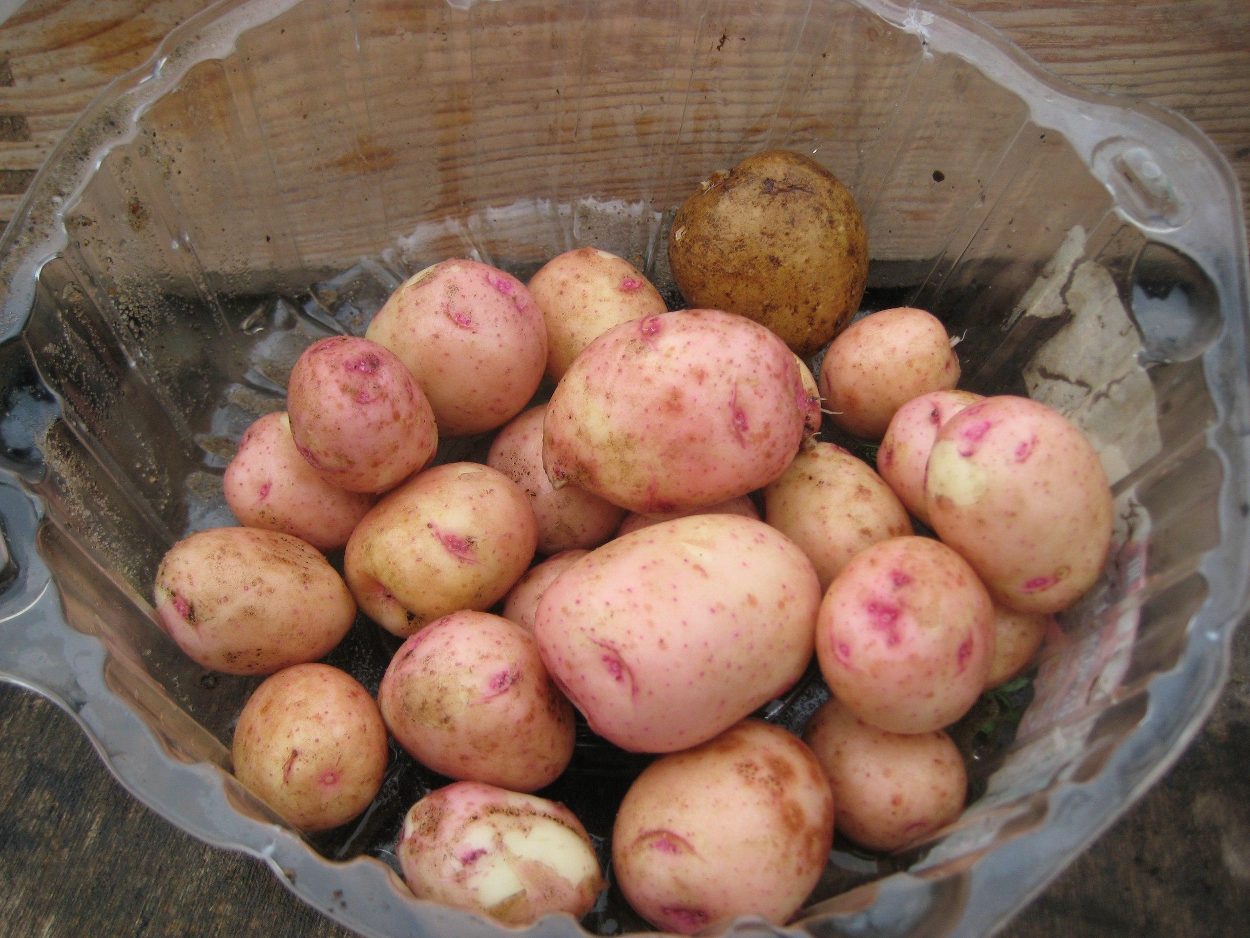 Описание сорта картофеля снегирь, особенности выращивания и ухода