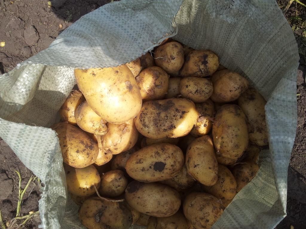 Среднеранний сорт картофеля чародей от отечественных селекционеров
