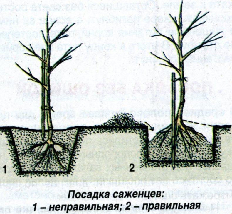 Почему не плодоносит колоновидная яблоня, что делать - рассказывают специалисты