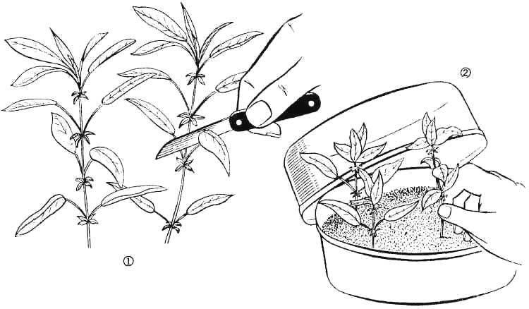 Как размножить садовую голубику: особенности размножения отводками, правила черенкования
