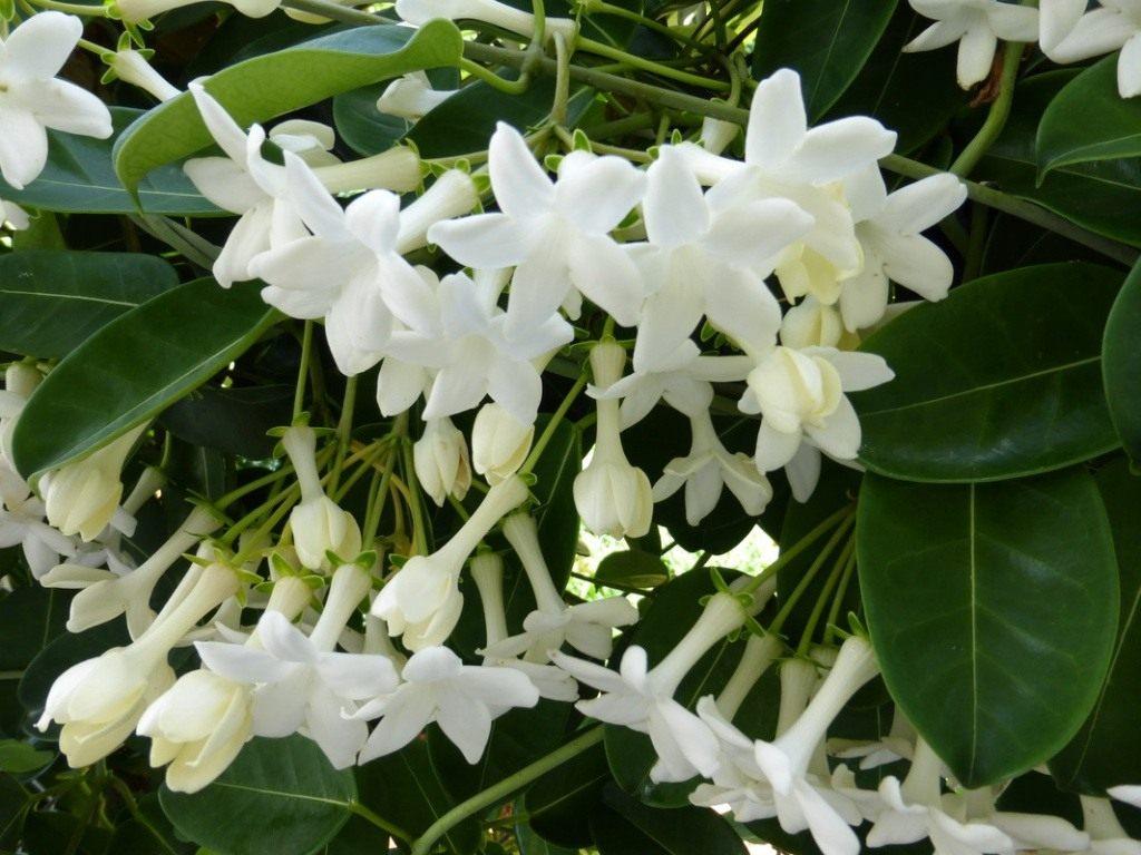 Стефанотис (мадагаскарский жасмин): уход в домашних условиях, выращивание и пересадка, размножение + фото и видео