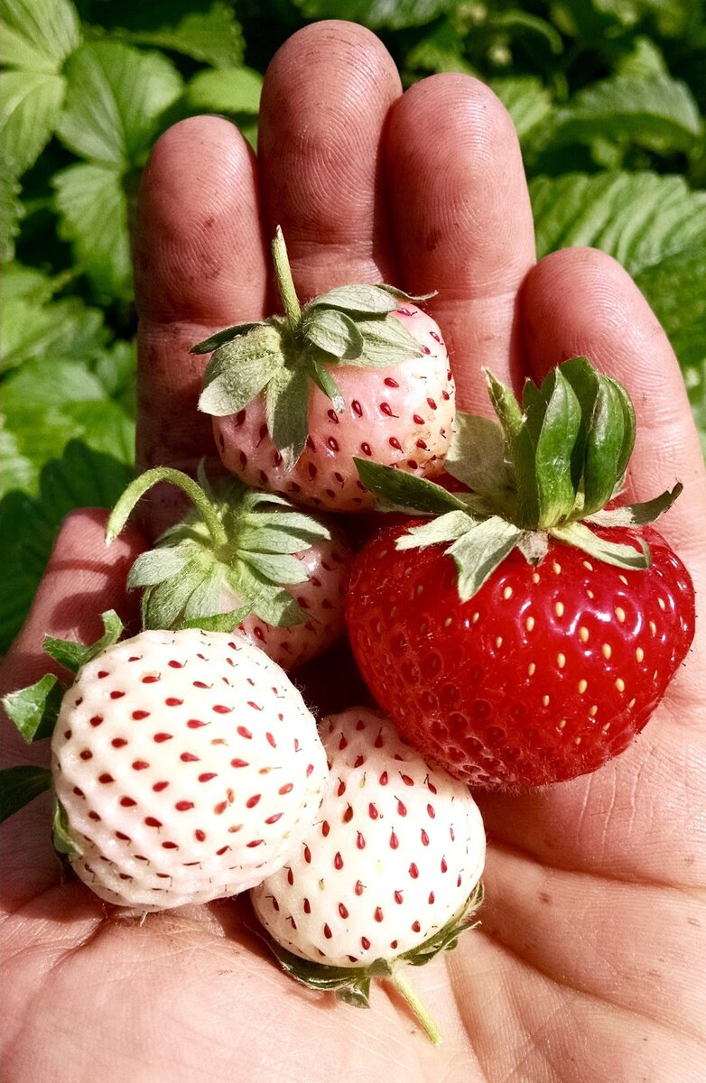 Клубника пайнберри: описание сорта и характеристики, уход и агротехника