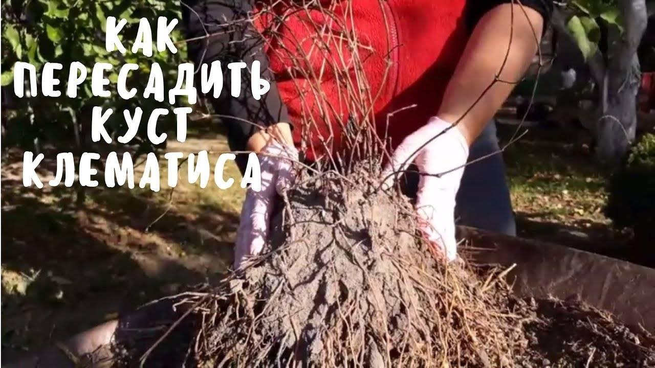 Правила пересадки клематиса весной русский фермер