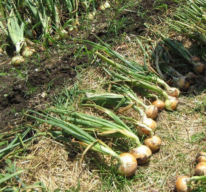 Лук семейный: посадка и уход в открытом грунте, когда убирать с грядки