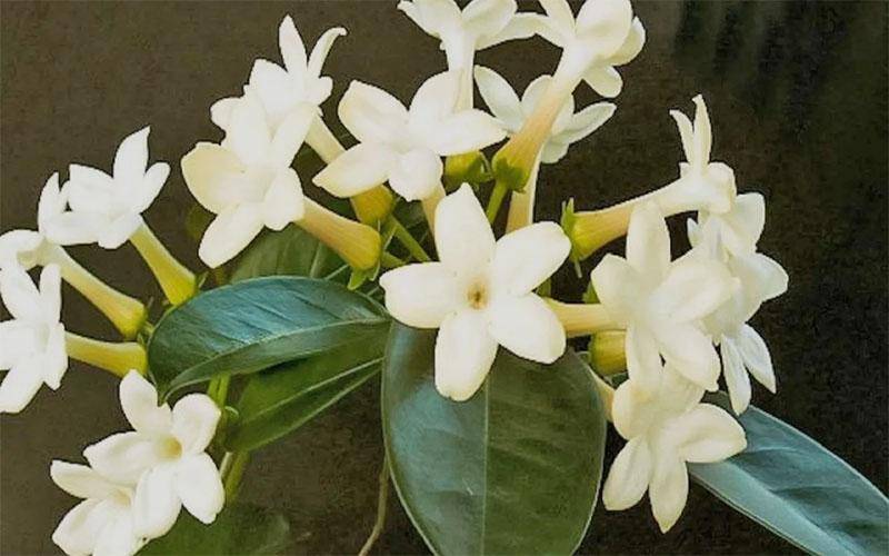 Стефанотис — царские цветение, аромат и капризы