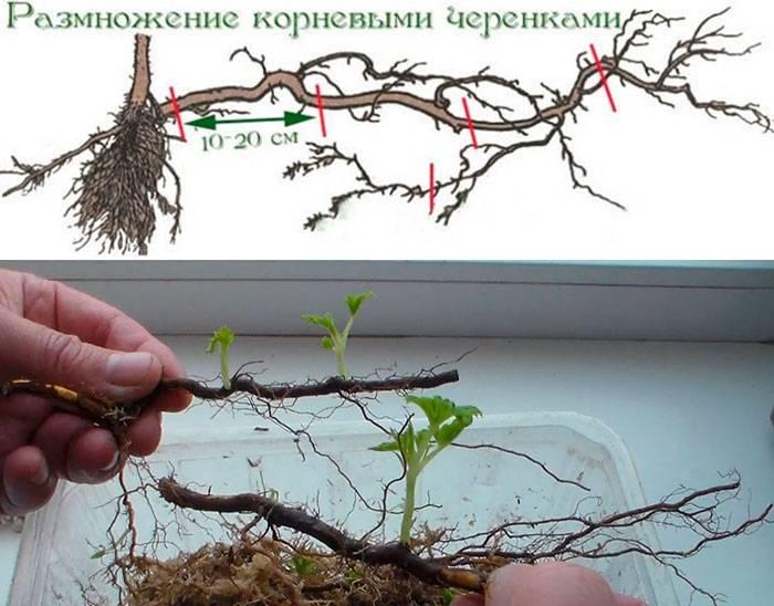 Способы и инструкция размножения сливы своими руками