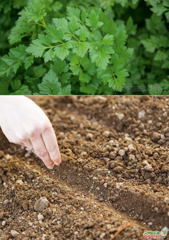 Выращивание петрушки в открытом грунте   вырасти сад!